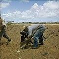 Collectie Nationaal Museum van Wereldculturen TM-20029751 Mannen snijden aloe, met pers Bonaire Boy Lawson (Fotograaf).jpg