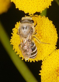 Colletes fg01.jpg