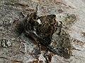 Colocasia coryli - Nut-tree tussock - Совка-шелкопряд (41099127771).jpg