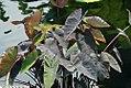 Colocasia esculenta Black Magic 3zz.jpg