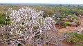 Colonie d'hérons garde-boeufs sur l'arbre du Baobab, ferme d'élevage des autruches de Dassari, Bénin. 03.jpg