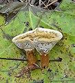 Coltricia montagnei (Fr.) Murrill 676457.jpg