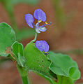 Commelina forsskalaei (Kanpet) in Hyderabad, AP W IMG 0603.jpg