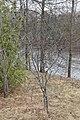Common Buckthorn (Rhamnus cathartica) - Guelph, Ontario 2020-04-12.jpg