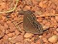 Common Bushbrown Mycalesis perseus by Dr Raju Kasambe DSCN2835 (2).jpg
