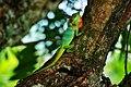 Common Garden Lizard Badulla.jpg