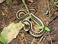 Common Garter Snake (Thamnophis sirtalis) - Flickr - GregTheBusker (1).jpg