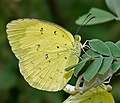 Common Grass Yellow (Eurema hecabe) mating in Narshapur, AP W2 IMG 0776.jpg