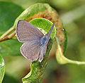 Common Lineblue (Prosotas nora) in Hyderabad, AP W IMG 0502.jpg