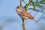 Common Whitethroat.jpg