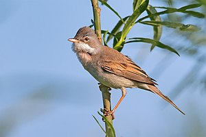 Common whitethroat - Image: Common Whitethroat