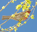 Common house finch.JPG