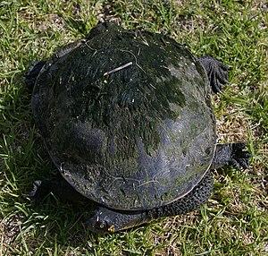 Eastern long-necked turtle - Image: Common snakeneck turtle (Chelodina longicollis) 1