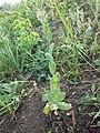 Conringia orientalis sl5.jpg