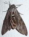 Convolvulous Hawkmoth. Agrius convolvuli - Flickr - gailhampshire.jpg