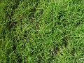 Cooch lawn texture.jpg