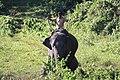 Coomkie Elephant in Garumara.jpg