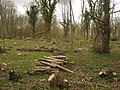 Coppiced trees in Larkey Valley Wood - geograph.org.uk - 1805882.jpg