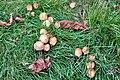 Coprinellus micaceus - 3.jpg