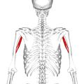 Coracobrachialis muscle09.png