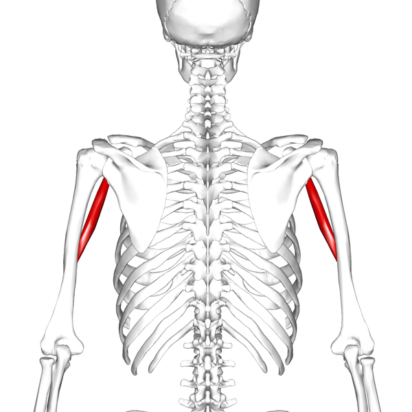 File:Coracobrachialis muscle09.png
