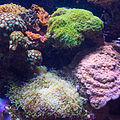 Corals (8030227477).jpg
