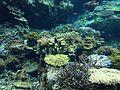 Corals in Okinawa Churaumi Aquarium 2.JPG
