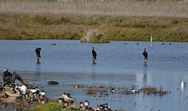 Corbmarins a una llacuna del Parc Natural de s'Albufera de Mallorca 2.jpg