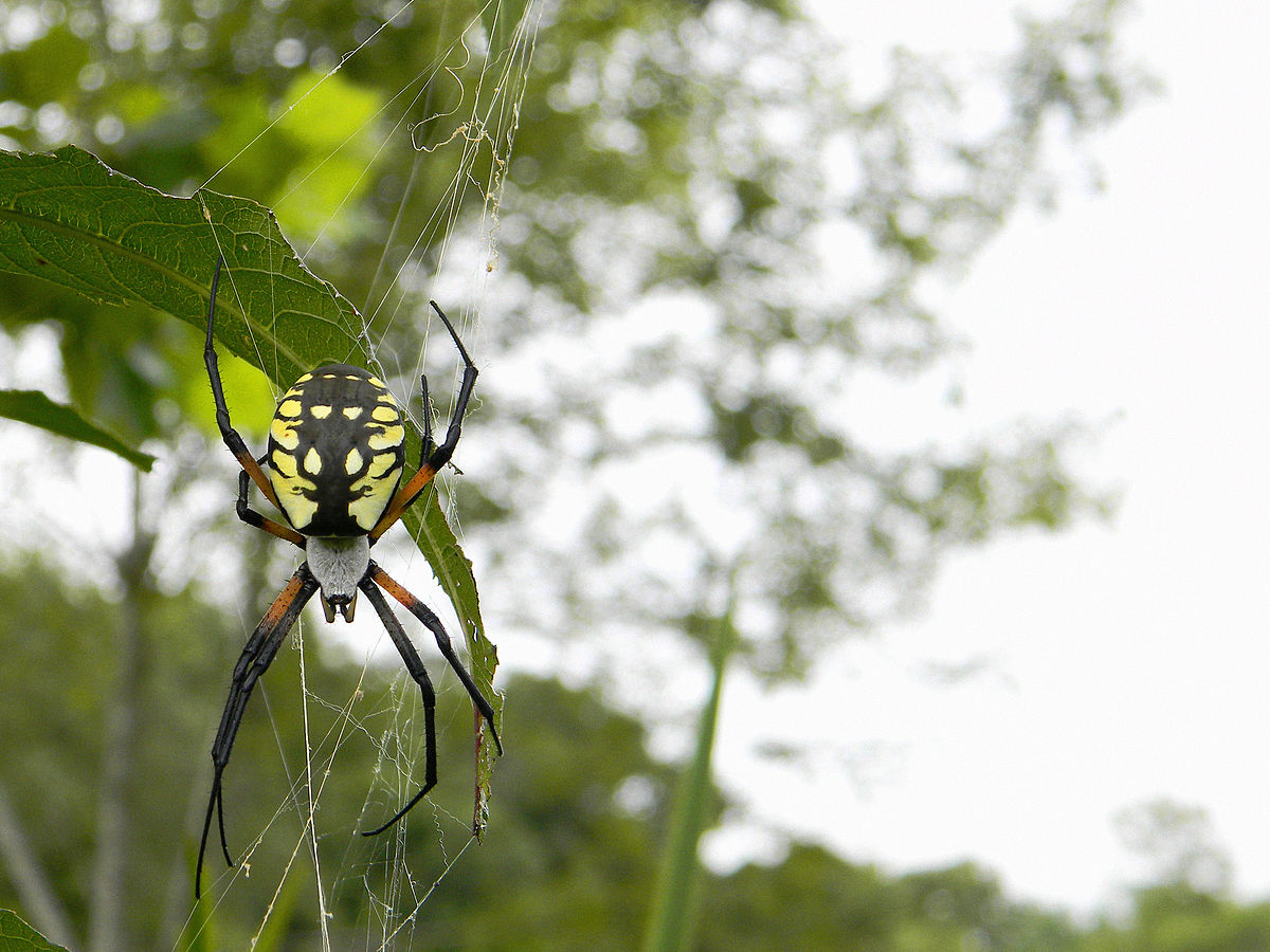 the writing spider argiope aurantia