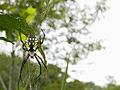 Corn Spider.jpg