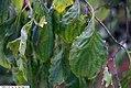 Cornus florida Pendula 1zz.jpg
