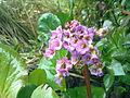 Cortaderia selloana à Grez-Doiceau 003.jpg