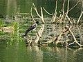 Corvus cornix, Srbija (59).jpg