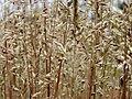 Corynephorus canescens Kiev3.jpg
