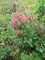 Cotinus coggygria, familija Anacardiaceae 03.jpg