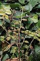 Cotoneaster dammeri 15302.JPG