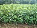 Cotton - panoramio (2).jpg