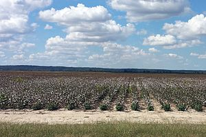 Arkansas Delta - Cotton fields in Poinsett County.  This flat, rural landscape is typical of the Arkansas Delta