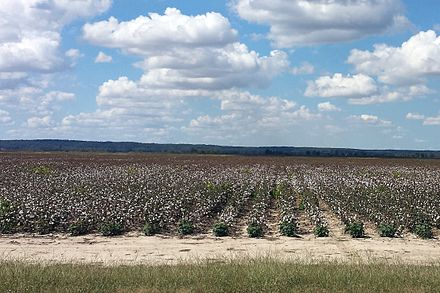Cotton fields in Poinsett County. This flat, rural landscape is typical of the Arkansas Delta Cotton fields in Poinsett County, AR 002.jpg