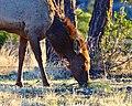 Cow Elk Grazing (33800390865).jpg