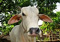 Cow with rope..Taal Volcano, Philippines - panoramio.jpg