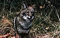 Coyote009 (26841417872).jpg