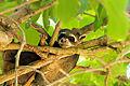 Crab-eating raccoon - Mapache cangrejero (Procyon cancrivorus) (15807754505).jpg