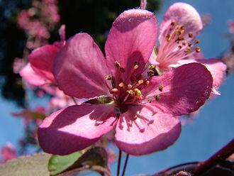 Malus coronaria - The rose-colored blossom of Malus Coronoria.