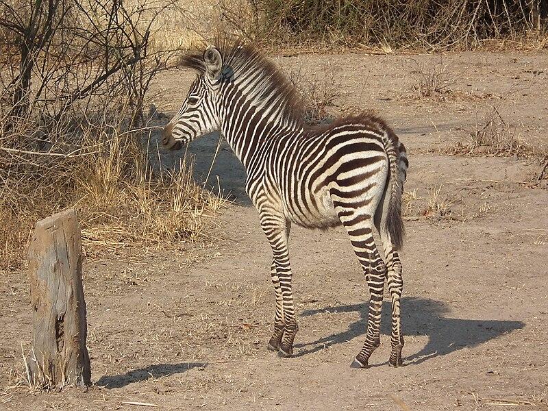 File:Crawshays zebra foal AZH2010 530.jpg