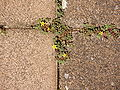 Creeping Woodsorrel in cobblestone columns.JPG