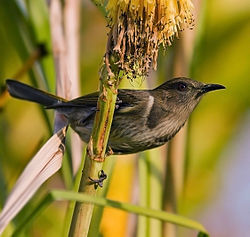Crescent Honeyeater Edit2.jpg