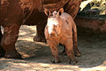 Cria de rinoceronte.jpg