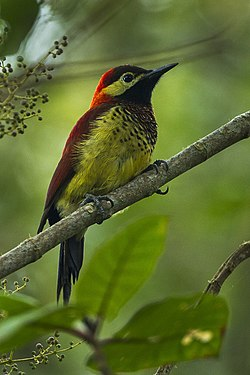 Crimson-mantled Woodpecker - Colombia S4E2671.jpg