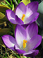 Crocus vernus violet vdg.jpg